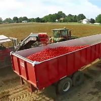 Cỗ máy tự động loại bỏ cà chua xanh khi thu hoạch