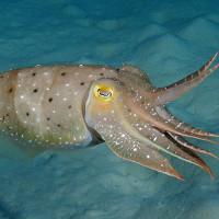 Mực nang liên tục thay màu da để thôi miên cua biển