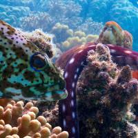 Bạch tuộc và cá mú hợp lực săn mồi dưới đáy biển Australia