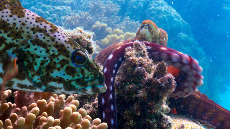 Cá mú và bạch tuộc ở rạn san hô Great Barrier.