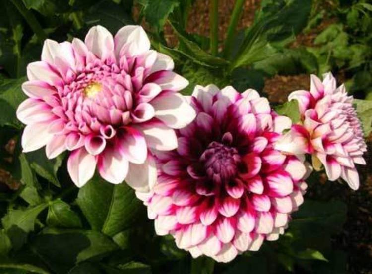 Khi chuẩn bị ra nụ thì phải chú ý đưa cây vào chỗ tối, nơi có nhiệt độ thấp để cho cây tiện ra hoa.