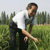 Nhà khoa học 87 tuổi giải mã bí mật trồng lúa bằng… nước nhiễm mặn