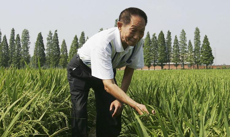 Ông Yuan Longping trên cánh đồng lúa.