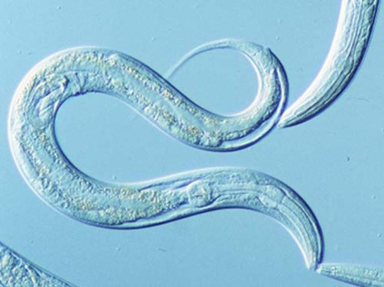 Loài C. elegans với cấu tạo cơ thể đơn giản nhưng khả năng sinh tồn cũng cao không kém cạnh.