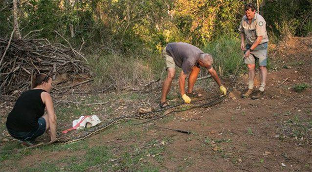 Scrub python là loài không có nọc độc