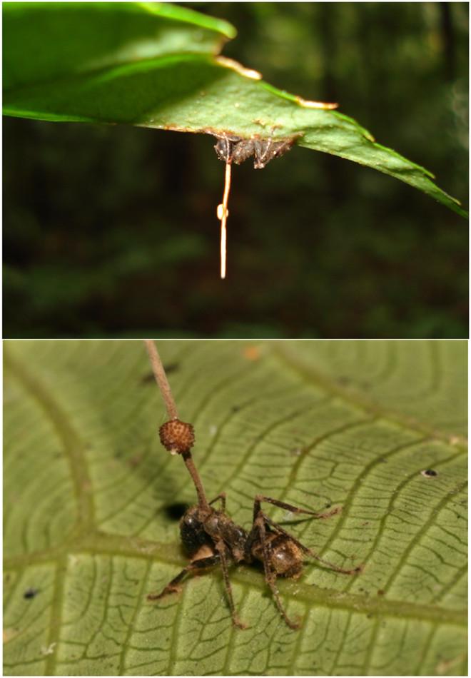 Não bộ của những con kiến bị nhiễm nấm này vẫn còn nguyên vẹn.