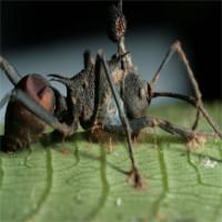 Khám phá giật mình về loài nấm kí sinh biến kiến thành xác sống
