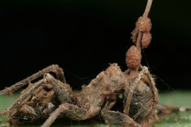 Nấm O. unilateralis không hề làm não bộ kiến tổn thương.