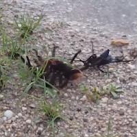 Video: Ong bắp cày chích độc hạ gục nhện