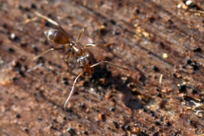 Một con kiến Argentina