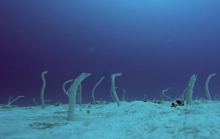 Cá chình vườn đốm ngoi lên từ dưới đáy biển.