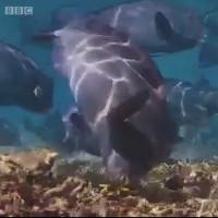 Loài cá ăn san hô thải ra 400kg cát mỗi năm
