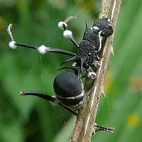 Mánh khóe sinh tồn của loài nấm ký sinh Ophiocordyceps unilateralis