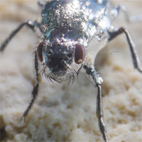 Loài ruồi nhiều lông chuyên bơi dưới nước