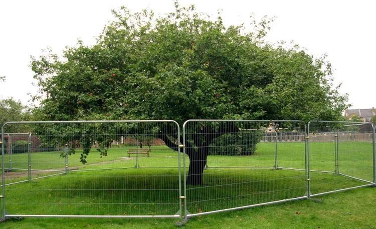 """Một """"hậu duệ"""" của cây táo Newton ở Teddington, London, Anh."""