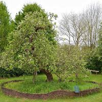 """Sự thật về """"cây táo Newton"""" 400 năm trước"""