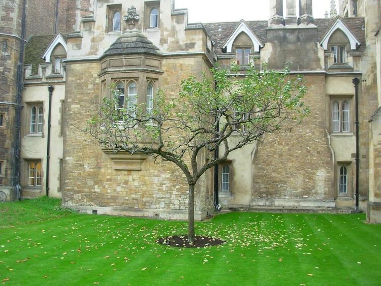 Thế hệ kế tiếp của cây táo Newton tại Trinity College, Cambridge.