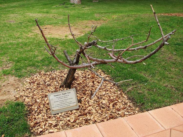 Cây táo Newton cũng được nhân giống trồng tại Goobang, New South Wales, Australia.