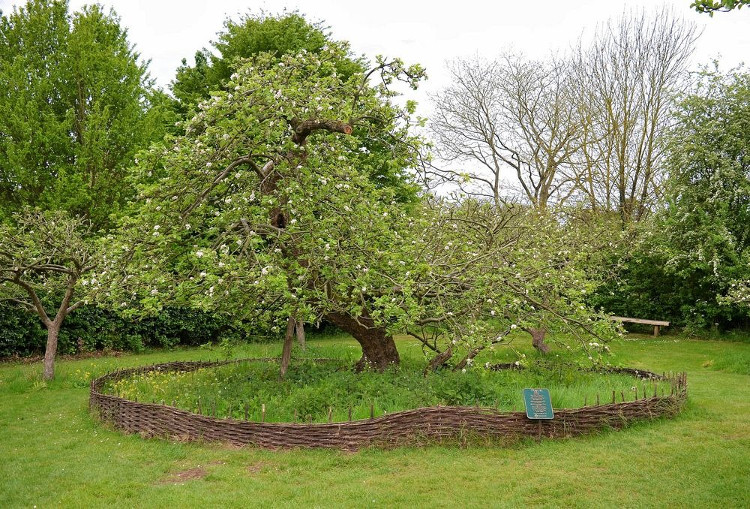 Chuyện của Newton và quả táo rơi là một trong những giai thoại nổi tiếng nhất giới khoa học.