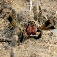Những điều có thể bạn chưa biết về loài nhện độc nhất thế giới
