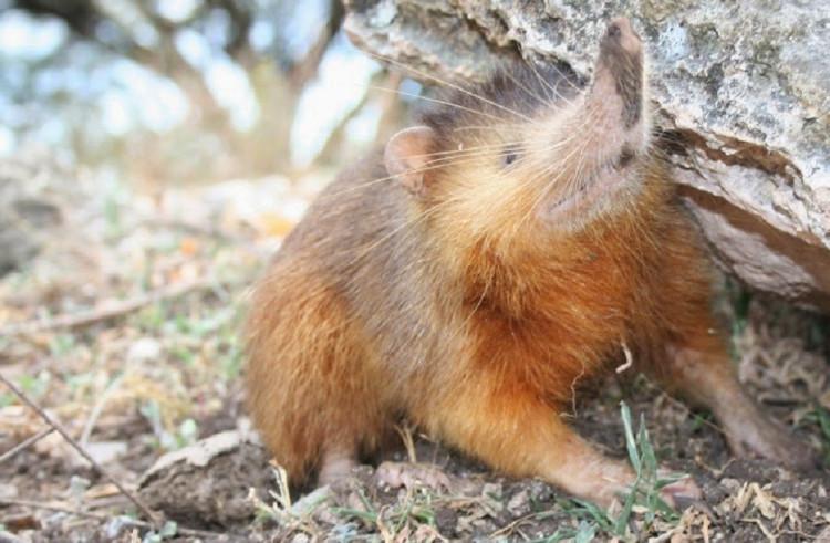 Chuột chù răng khía có mũi dài và thường ăn côn trùng.