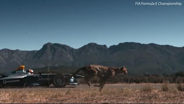 Hiện nay, chỉ còn 7.000 con báo săn phân bố thưa thớt trong tự nhiên.