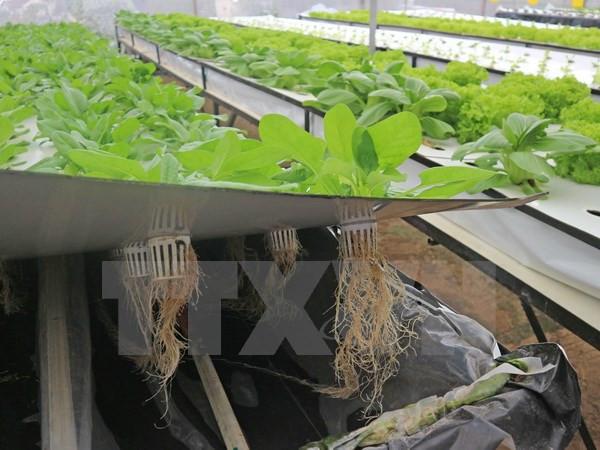 Với phương pháp khí canh, rau được trồng trên giàn cao lơ lửng trong không khí.