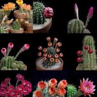 Video: Vẻ đẹp khi bung nở của hoa xương rồng