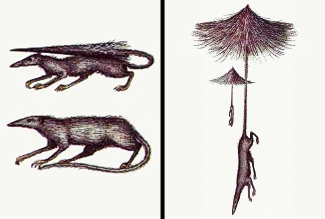 Chuột đuôi ô