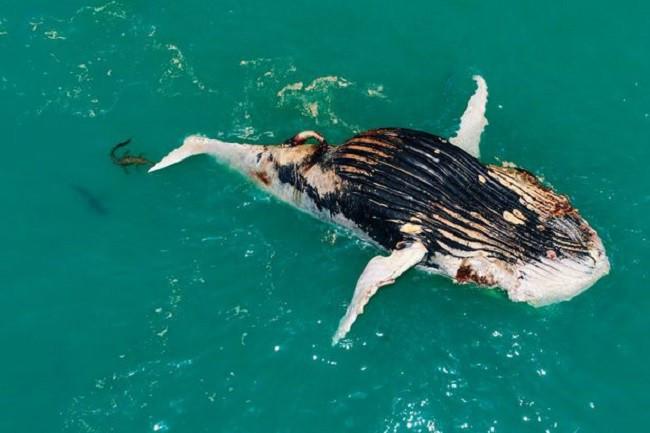 """Cả loài cá mập hổ và cá sấu nước mặn cùng """"đánh chén"""" một con cá voi đã chết."""