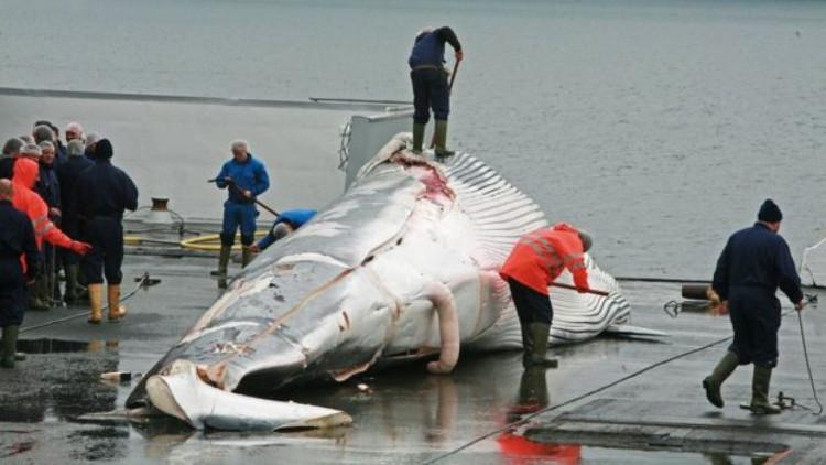 Công nhân cắt xẻ thịt cá voi tại chỗ.