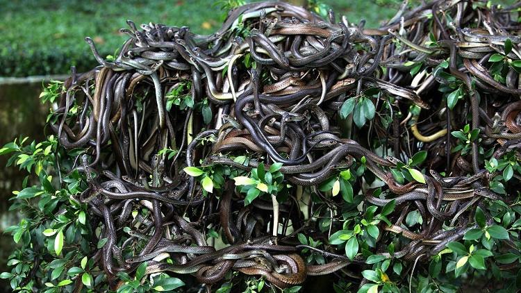 Bầy rắn tự tung tự tác ở đảo Rắn.