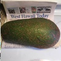 Quả bơ 2,4kg có thể phá kỷ lục thế giới ở Hawaii