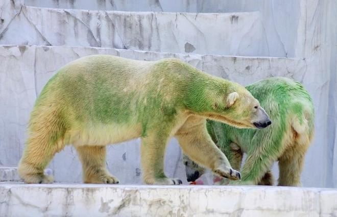 Bộ lông của gấu Bắc cực có thể đổi màu.