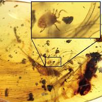 Ve hút máu khủng long nguyên vẹn 99 triệu năm trong mộ hổ phách
