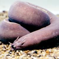 Chiêu tự vệ của loài thủy quái khiến cá mập dè chừng