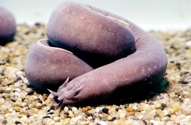 Cá hagfish là loài động vật có cấu tạo kỳ lạ