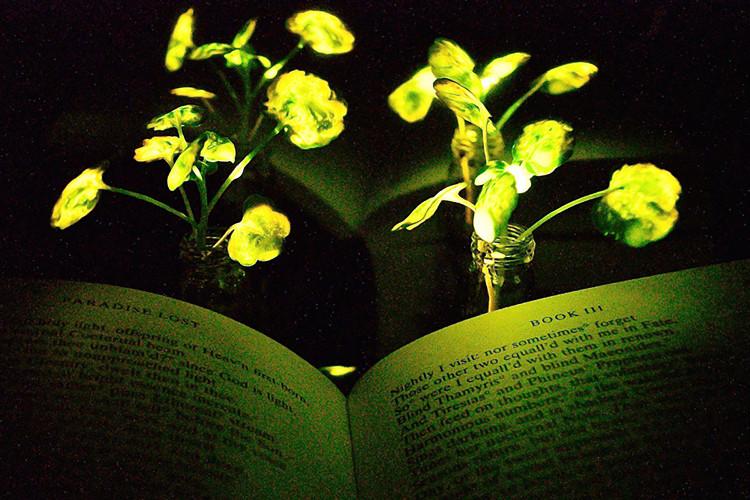 Cải xoong có thể phát sáng trong đêm như đèn điện.