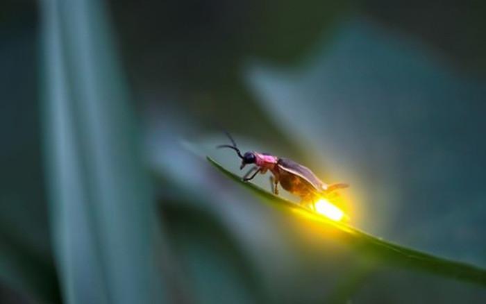 Cách thức tạo ra cây phát sáng dựa vào cơ chế phát sáng của đom đóm.