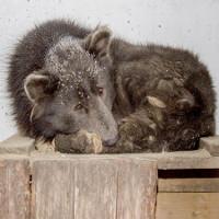Chó mặt gấu khiến người dân Nga bối rối