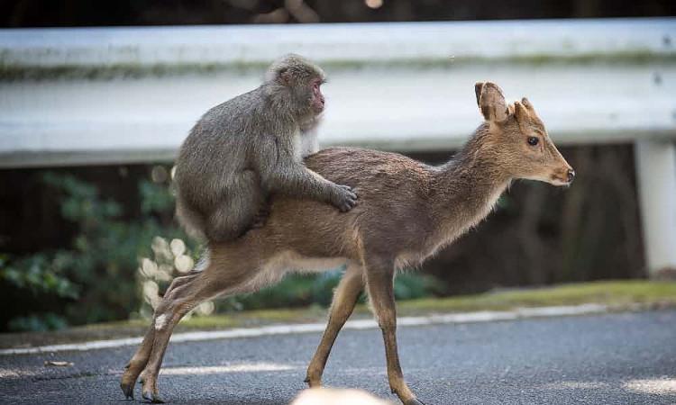 Con khỉ đã tìm cách thực hiện hành vi giao phối, và con hươu thì mặc kệ.