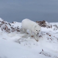 Cáo tuyết Bắc cực tiếp cận đoàn thám hiểm