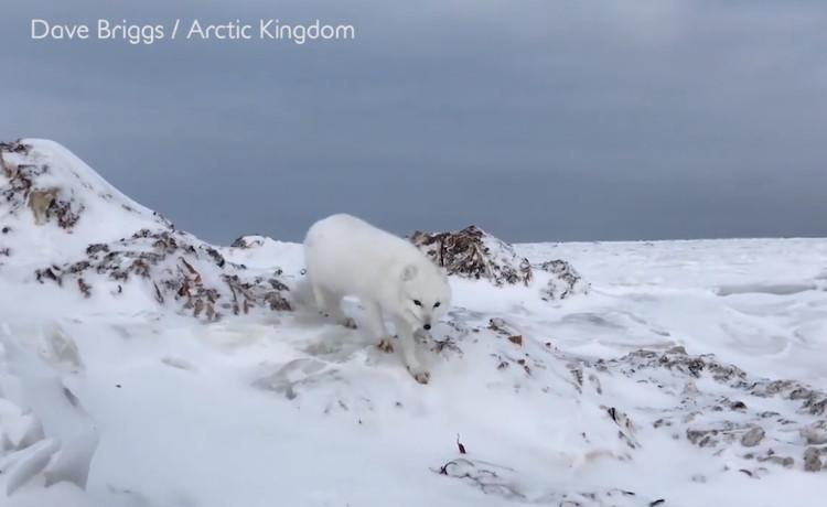 Cáo tuyết sở hữu bộ lông dày, sống trong môi trường Bắc cực lạnh giá và thích nghi tốt với cái lạnh.