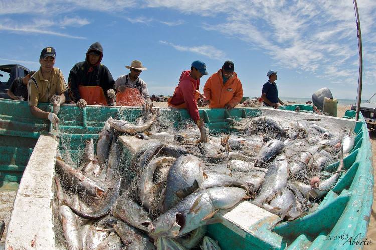 Cá corvina là loài bị đánh bắt khá nhiều