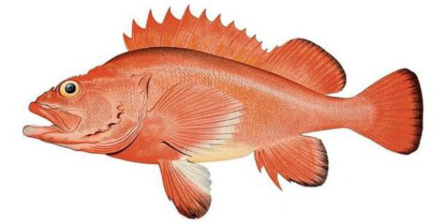 Cá đỏ