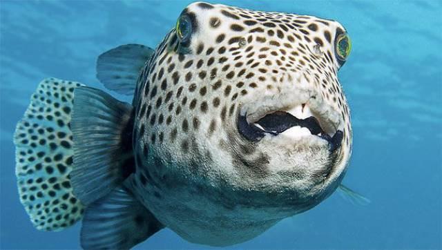 Cá nóc Nhật Bản