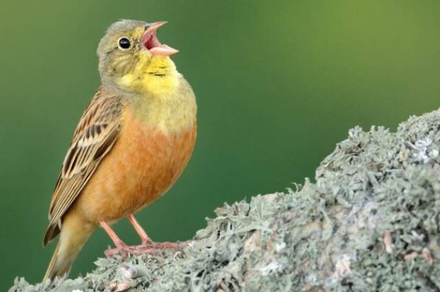 Chim sẻ rừng