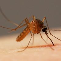 Những phát hiện thú vị về muỗi