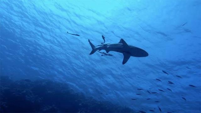 Vây cá mập