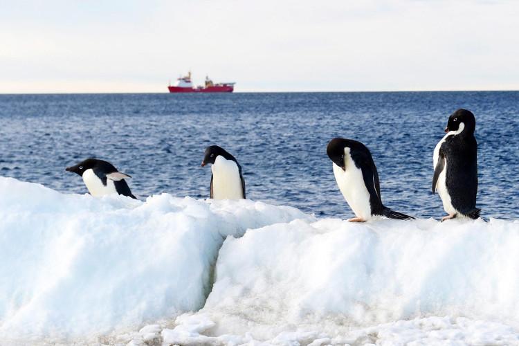 Chim cánh cụt tại Vịnh Terra Nova, Victoria Land, Nam Cực.
